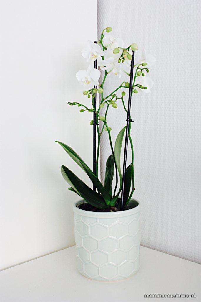 witte kleine orchidee