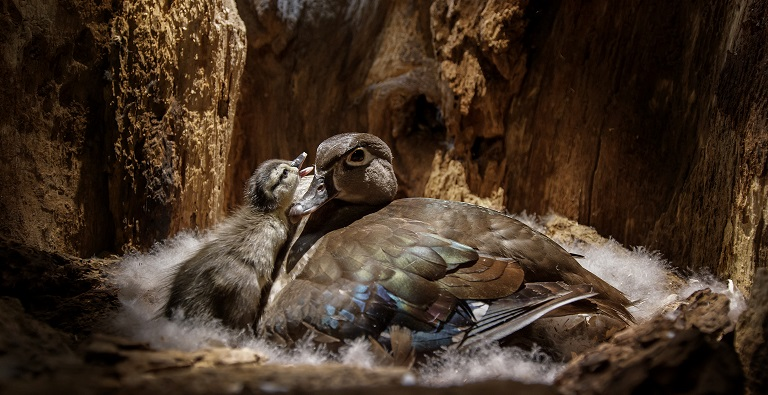 Backyard-Wilderness_FPS_Wood-Duck-Mum-Baby